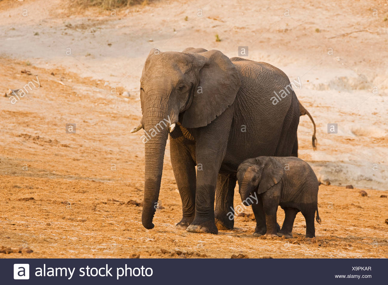 Africa, Botswana, African Elephant (Loxodonta africana) mother and calf Stock Photo