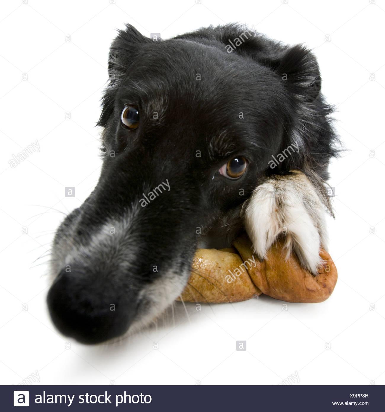 Close up of a dog lying with a dog bone - Stock Image