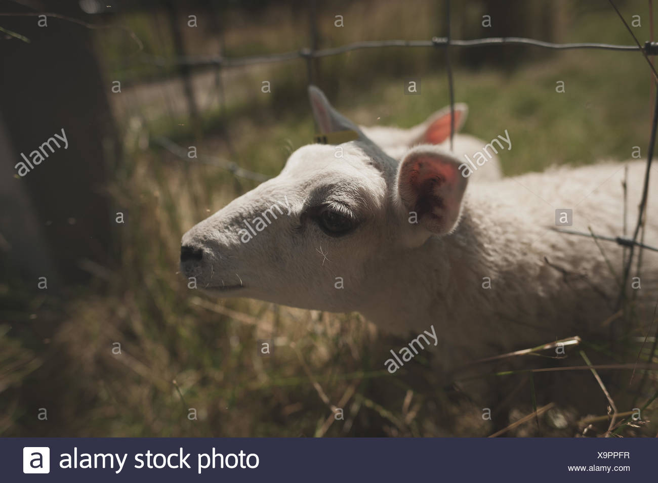 Close-Up Of Sheep At Fence On Field - Stock Image