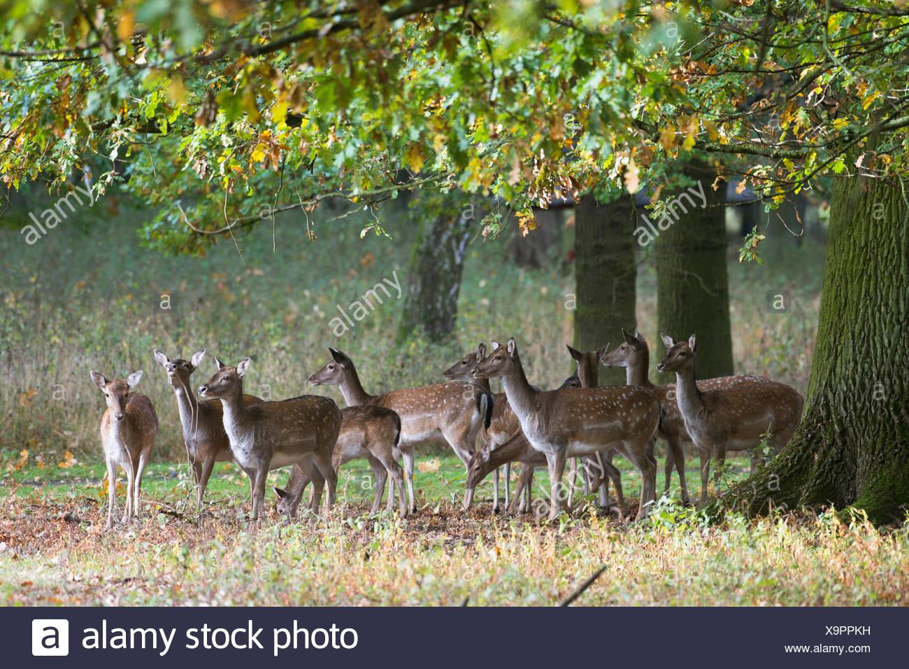 Fallow deer (Dama dama), herd under oak trees, captive, Niedersachsen, Germany - Stock Image