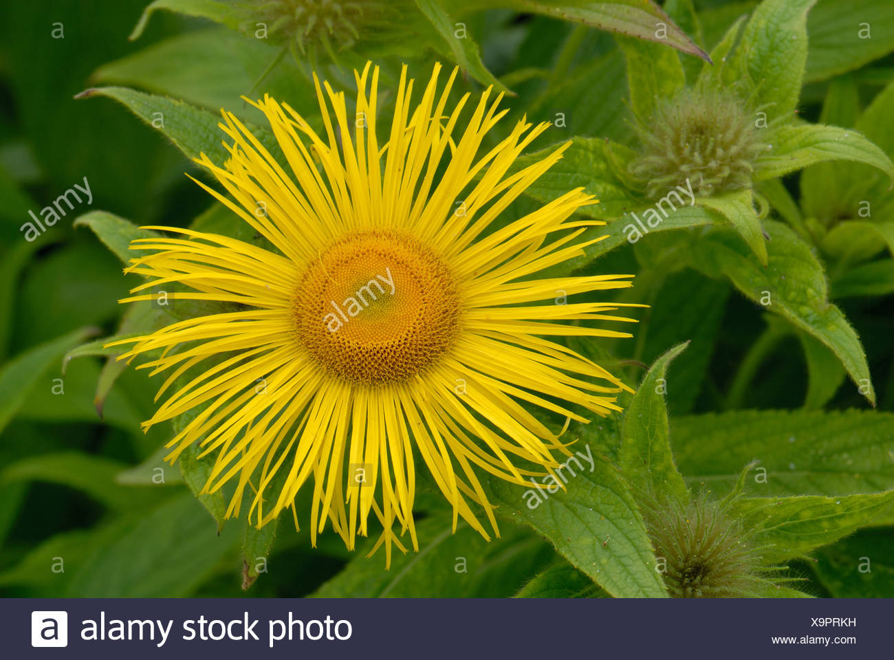 Inula hookeri flower against unopened buds and leaves - Stock Image