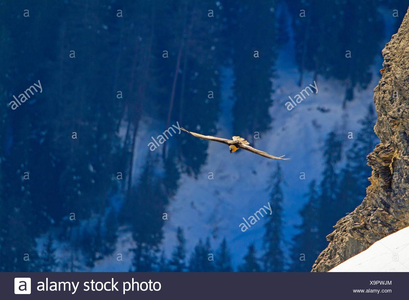 Lammergeier, Bearded Vulture (Gypaetus barbatus), bearded vulture in flight before a mountain forest, Switzerland, Valais, Leukerbad - Stock Image