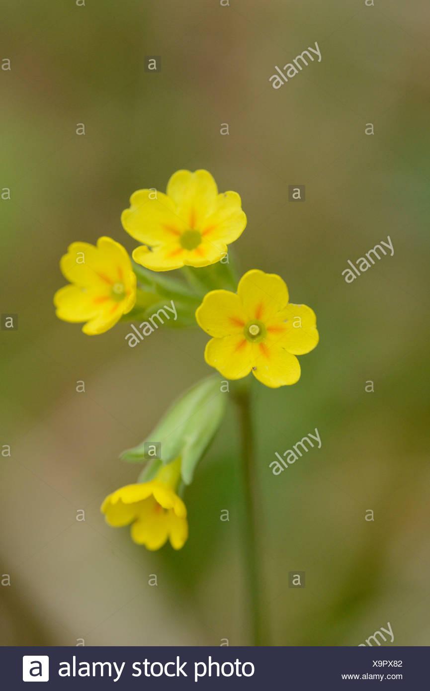 Common cowslip (Primula veris) Stock Photo