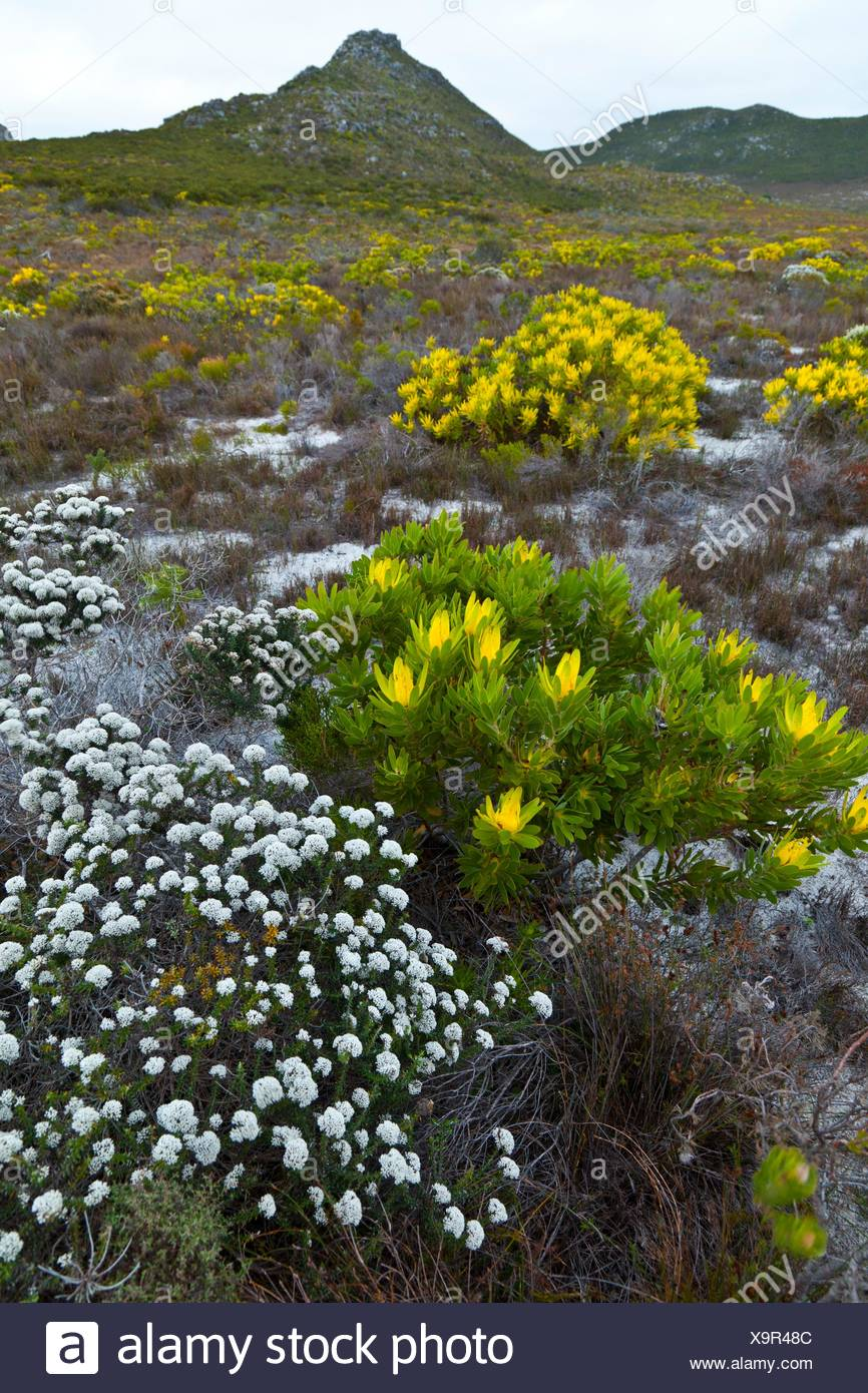 Paisaje con flores, en Cape Point, False Bay, Sudáfrica, África. - Stock Image