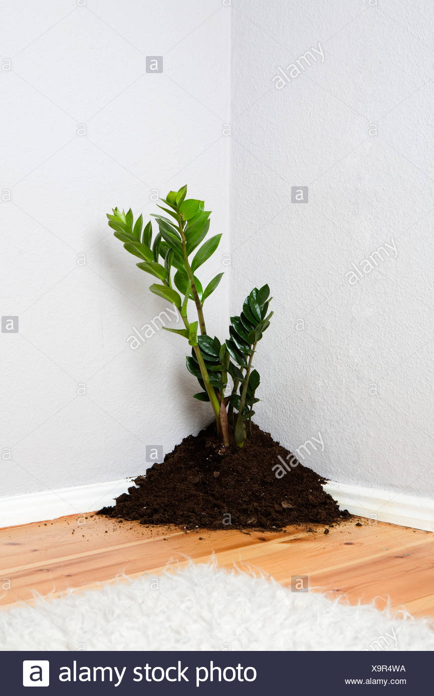 A plant growing out of a pile of dirt in the corner of a living room - Stock Image