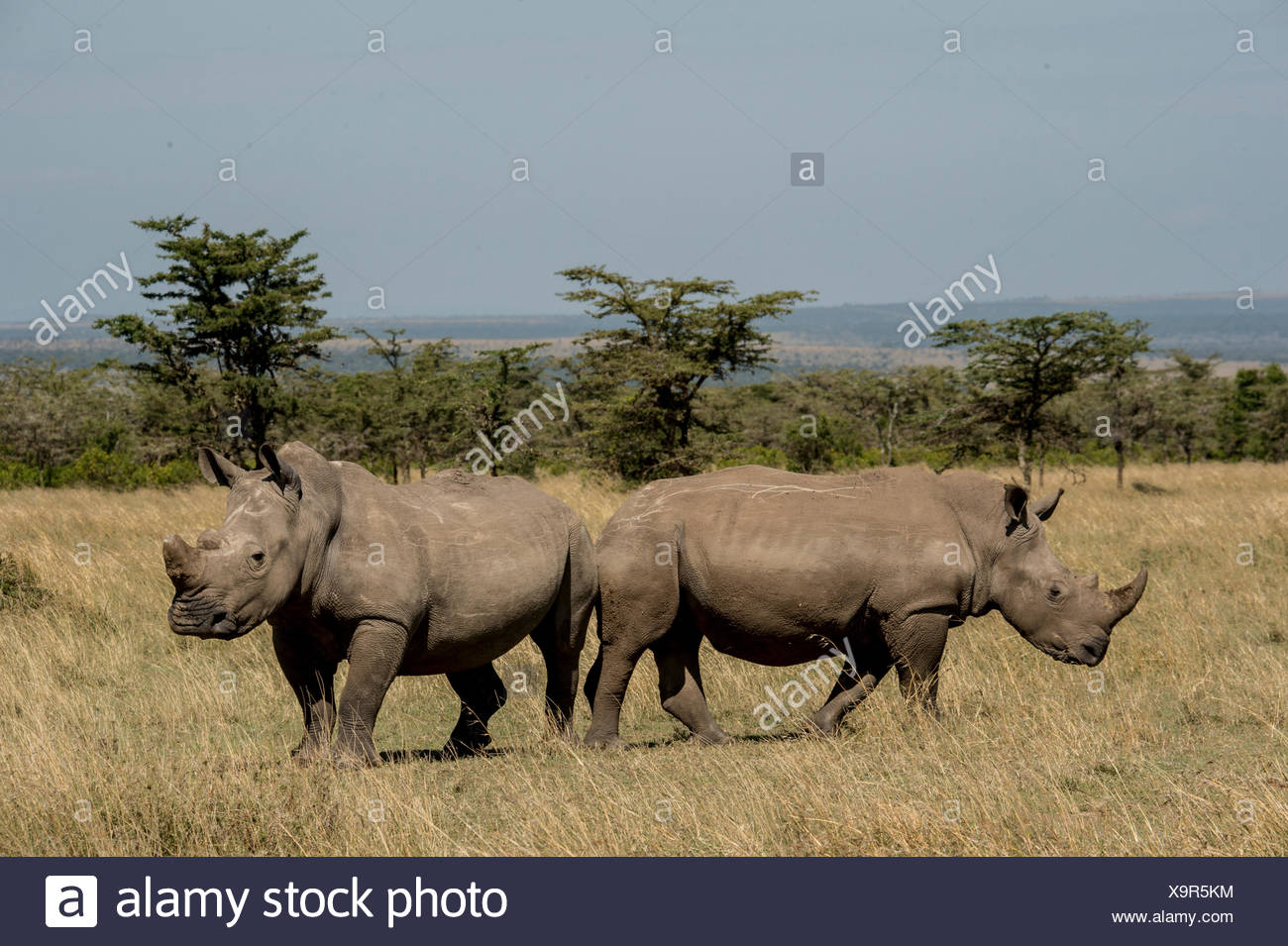 Fatu, with sawed off horn, socializes with a southern white rhino. - Stock Image