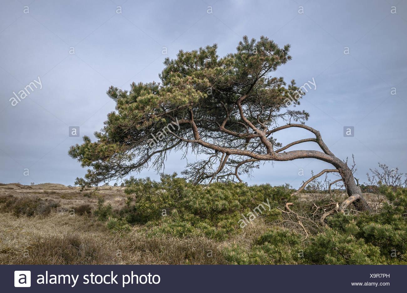 Hiddensee - moorlands - Stock Image