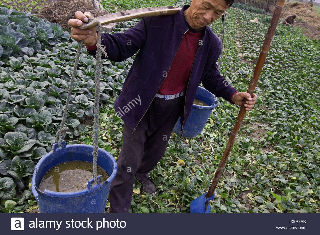 Farmer grows vegetables (mostly cabbage)using human waste for fertilizer in Changshu, China. - Stock Image