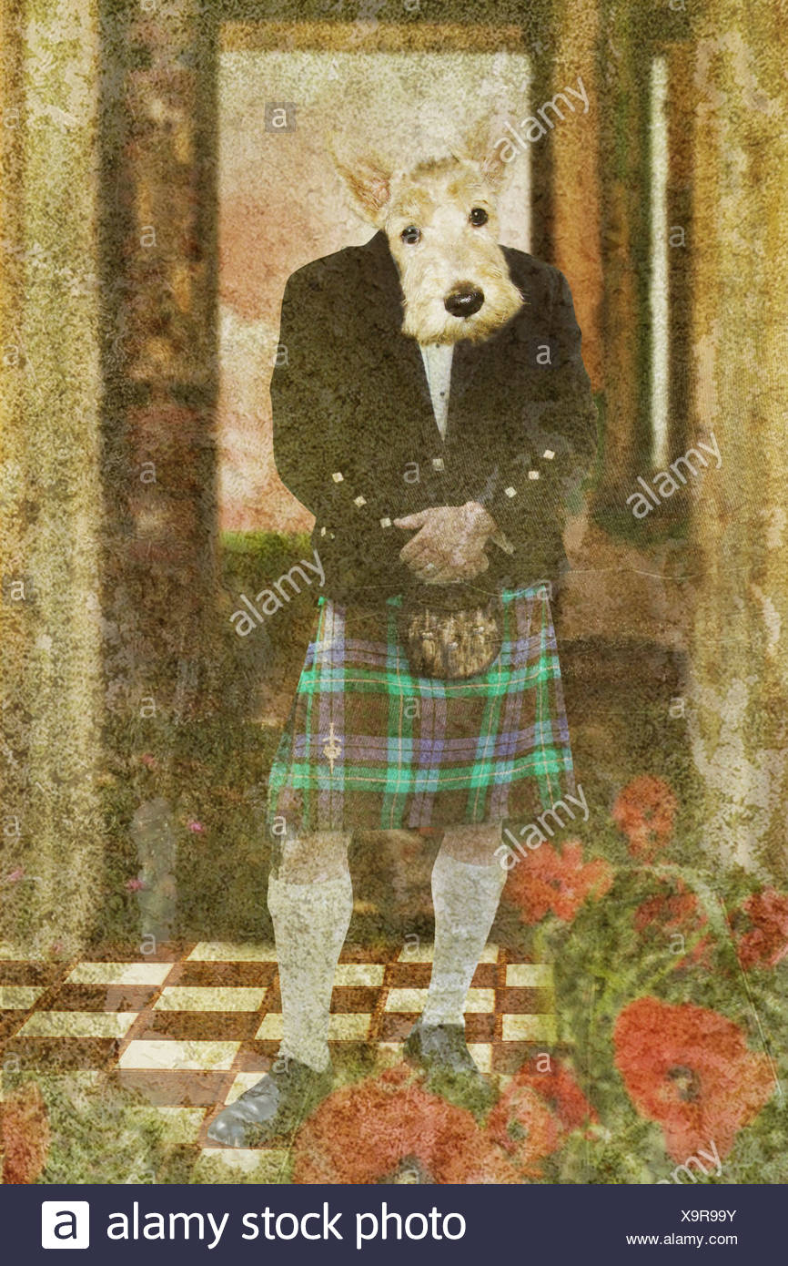 scottie dog wearing a kilt looking at the camera - Stock Image