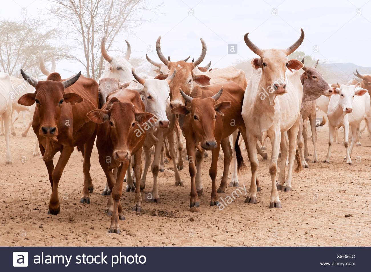 Cattle herd - Stock Image