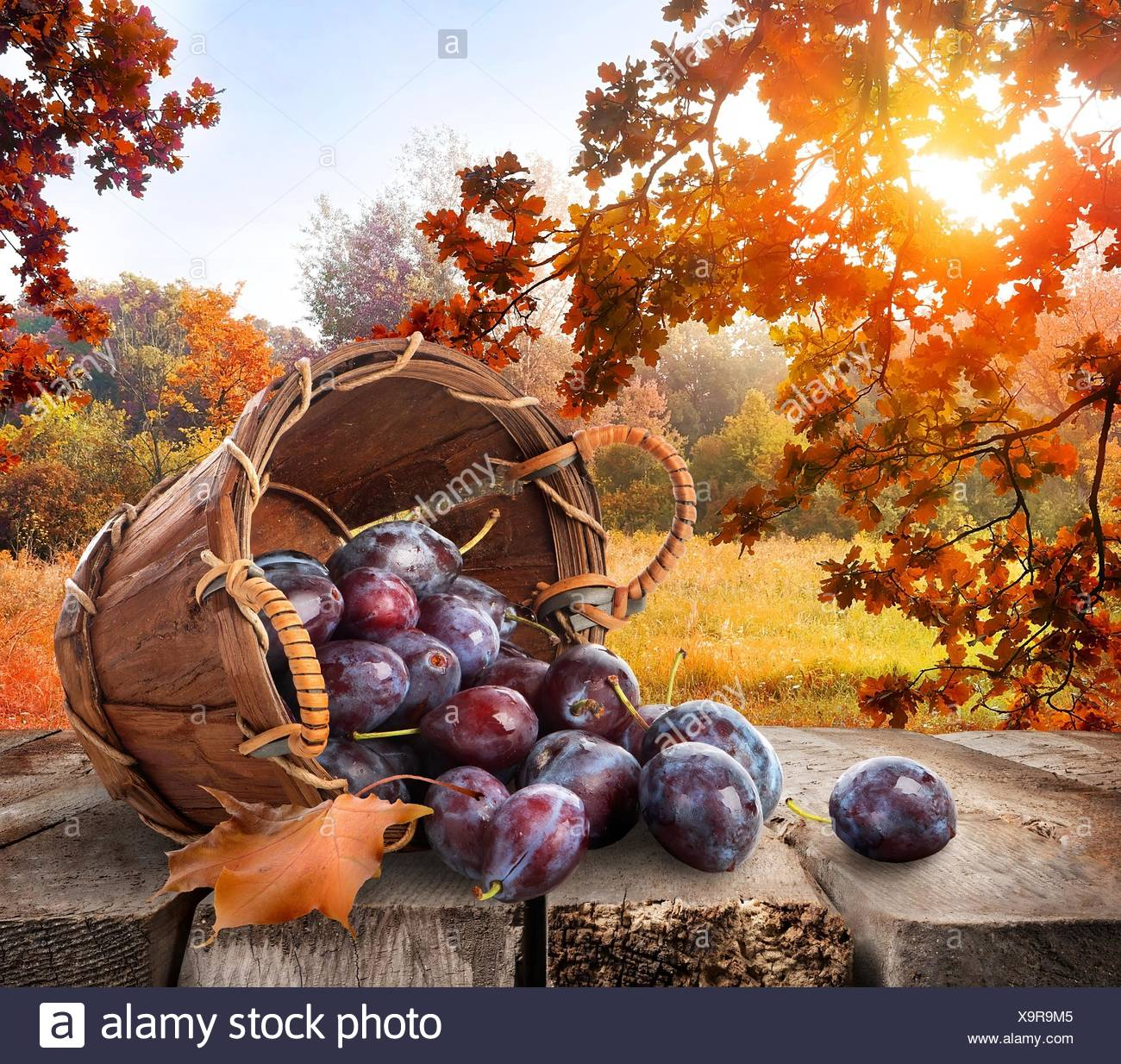 Plums in a basket on wooden table and autumn landscape. Stock Photo