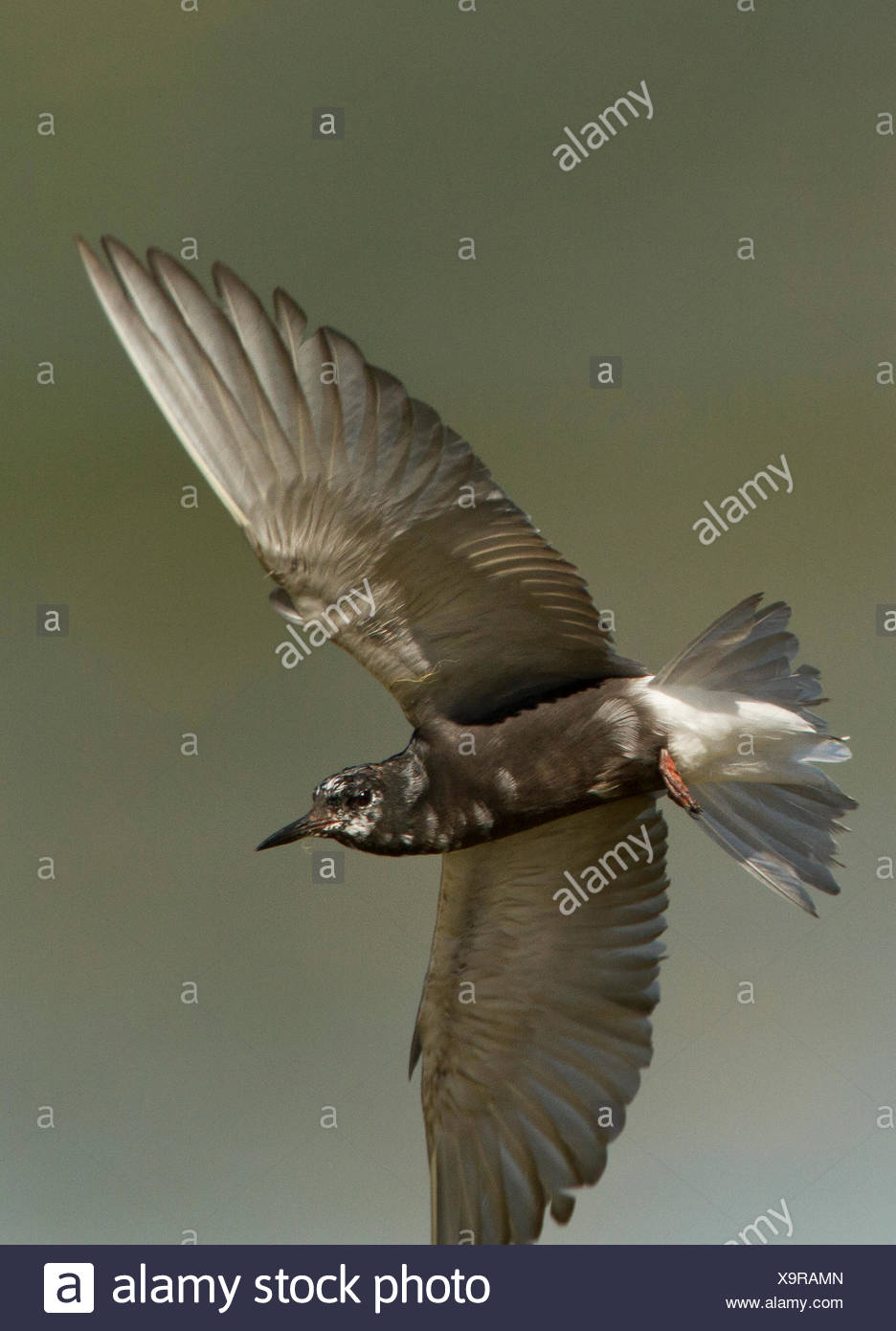 Black Tern, Chlidonias niger, Alberta, Canada - Stock Image