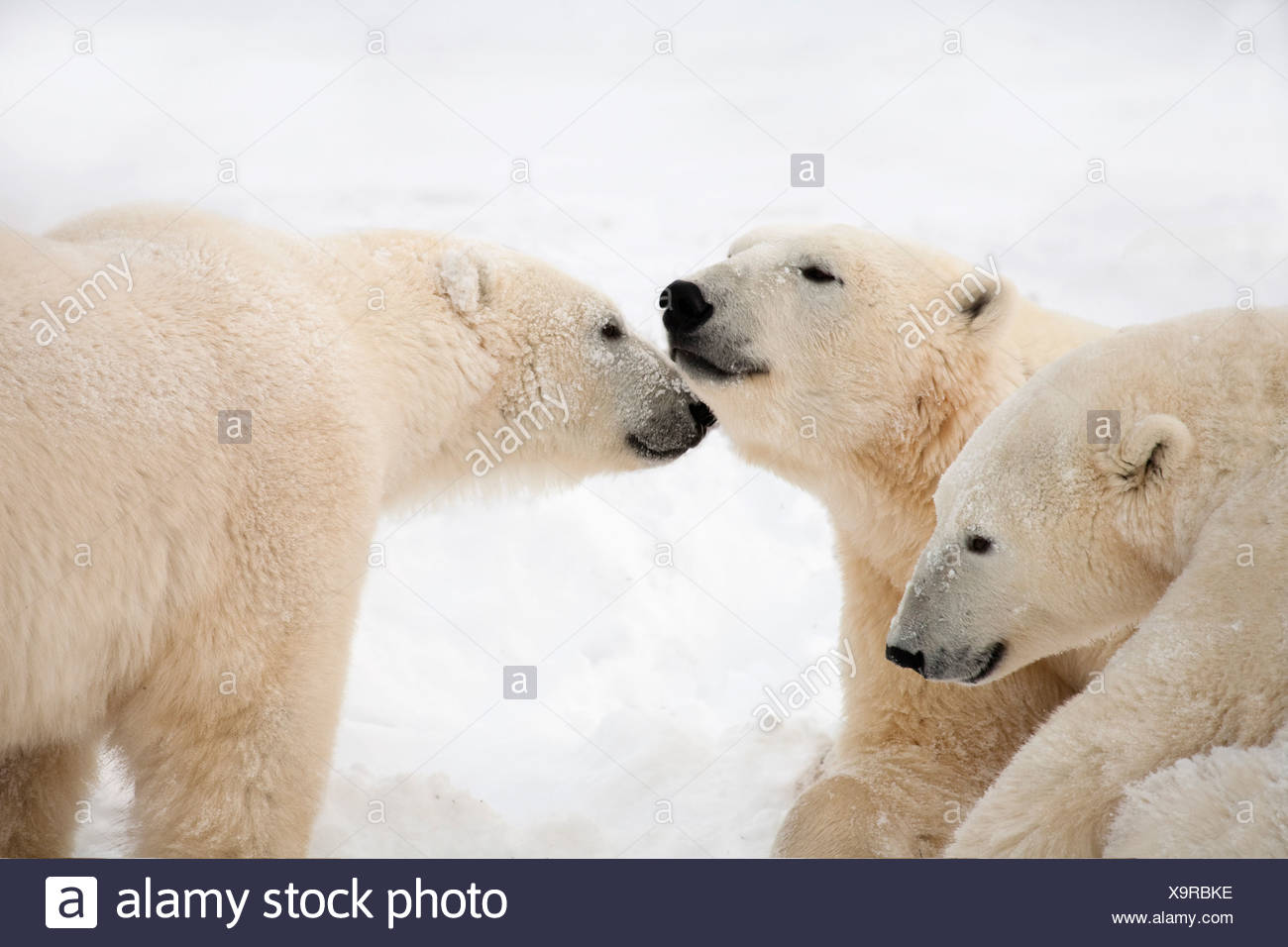 Three Polar Bears (Ursus Maritimus) Being Affectionate; Nunavut, Canada - Stock Image