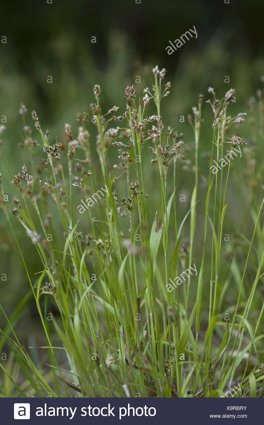 wood-rush, luzula divulgata - Stock Image