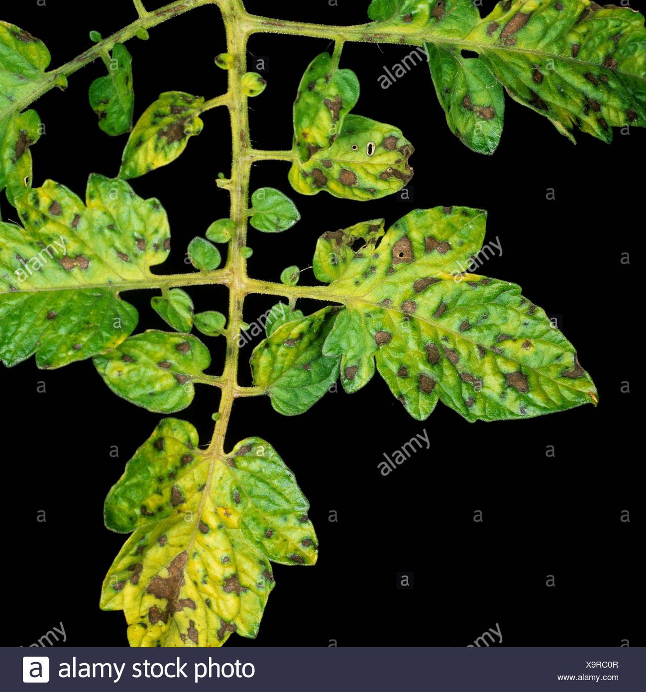 Manganese Mn deficiency symptoms on glasshouse grown tomato plant leaves - Stock Image