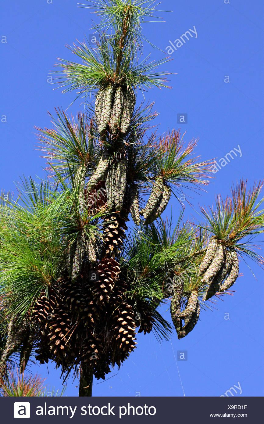 Pine cones - pine tree - conifer (Pinus schwerinii hybrid Fitschen) - Stock Image