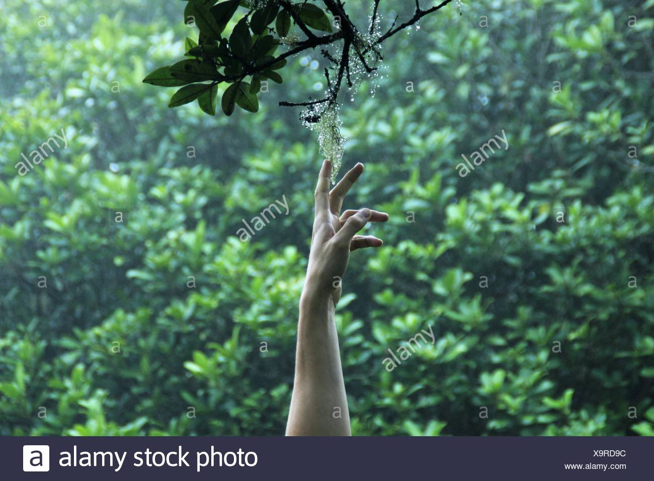 Man's Hand reaching for flower on branch, La Reunion, France - Stock Image