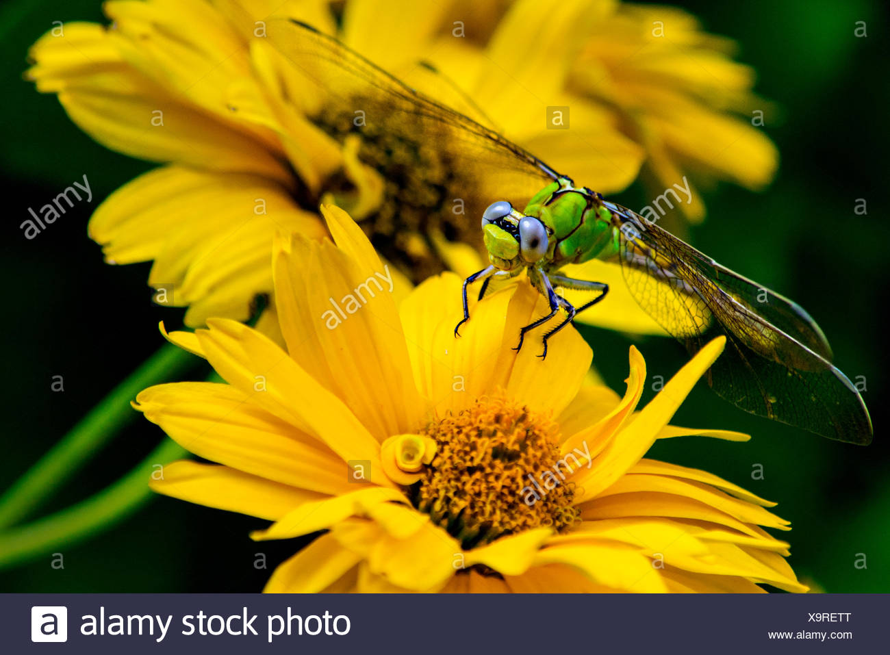 Dragonfly sitting on yellow flower - Stock Image