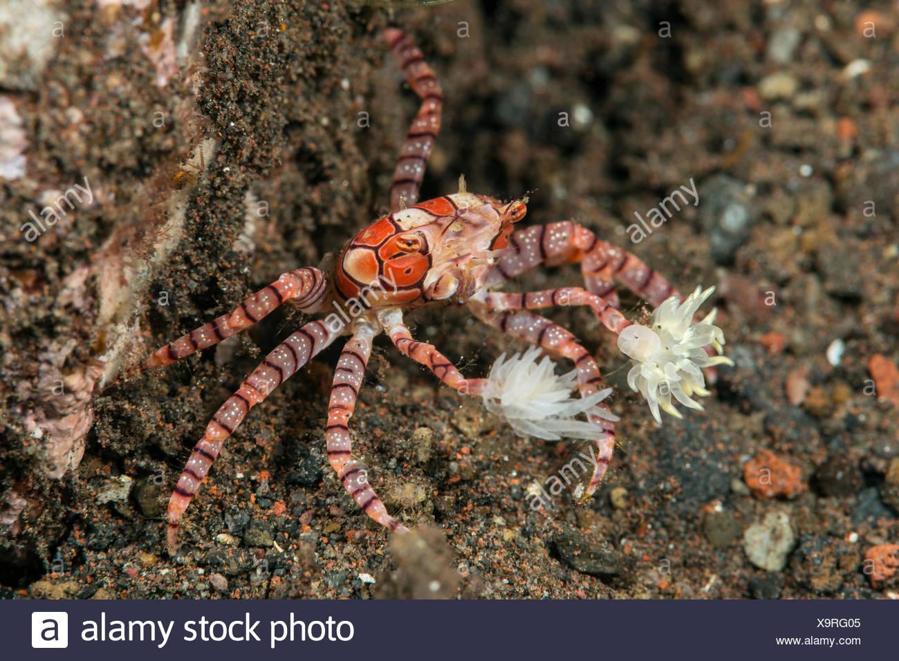 Boxer Crab, Lybia tessellata, Bali, Indonesia - Stock Image