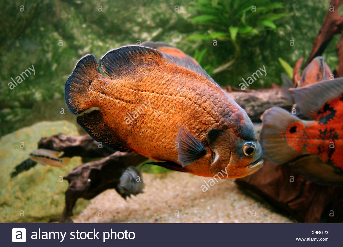 Opinion adult oscar fish