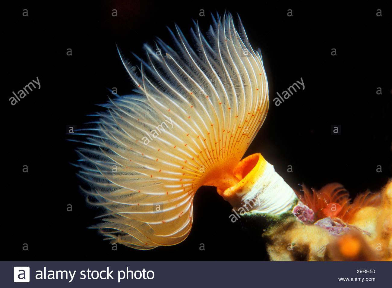 Tube Worm, Protula sp., Vis, Dalmatia, Adriatic Sea, Croatia Stock Photo
