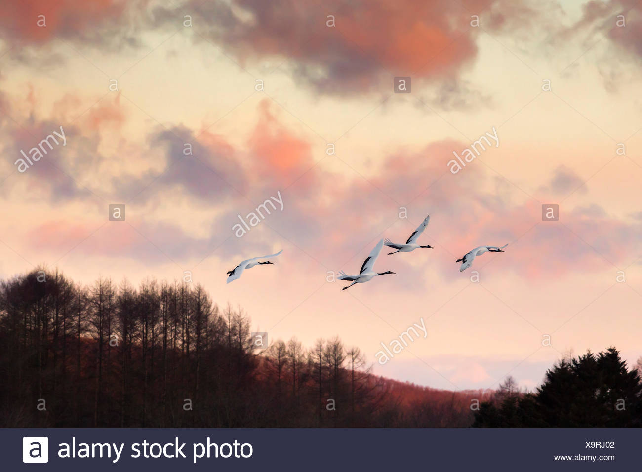 Japanese red crested cranes flying above Akan in hokkaido, at sunset, with mountains in the background Stock Photo