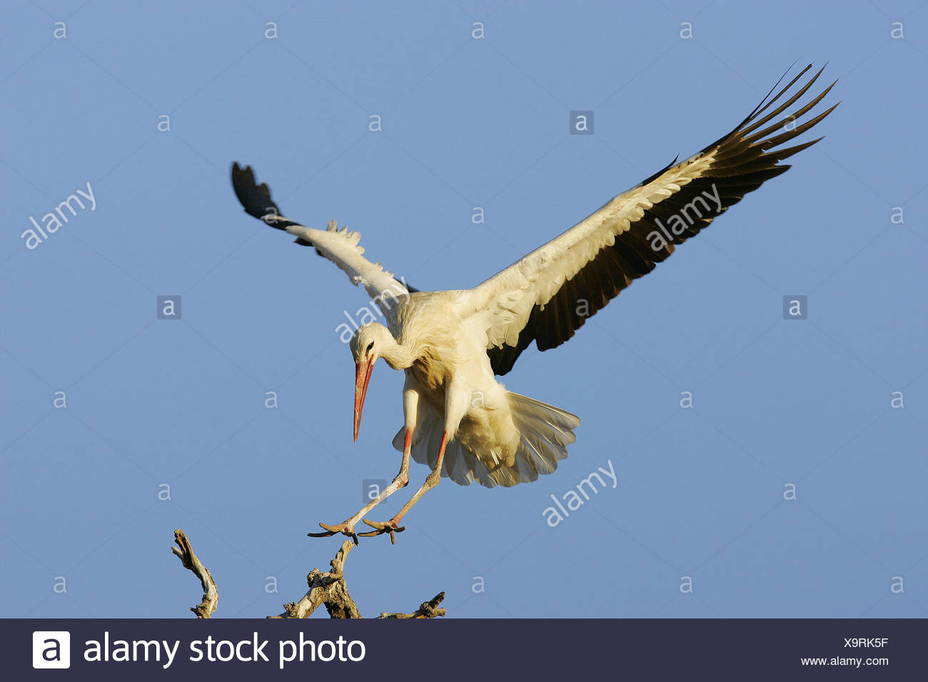 Stork (Ciconia ciconia) flying Stock Photo