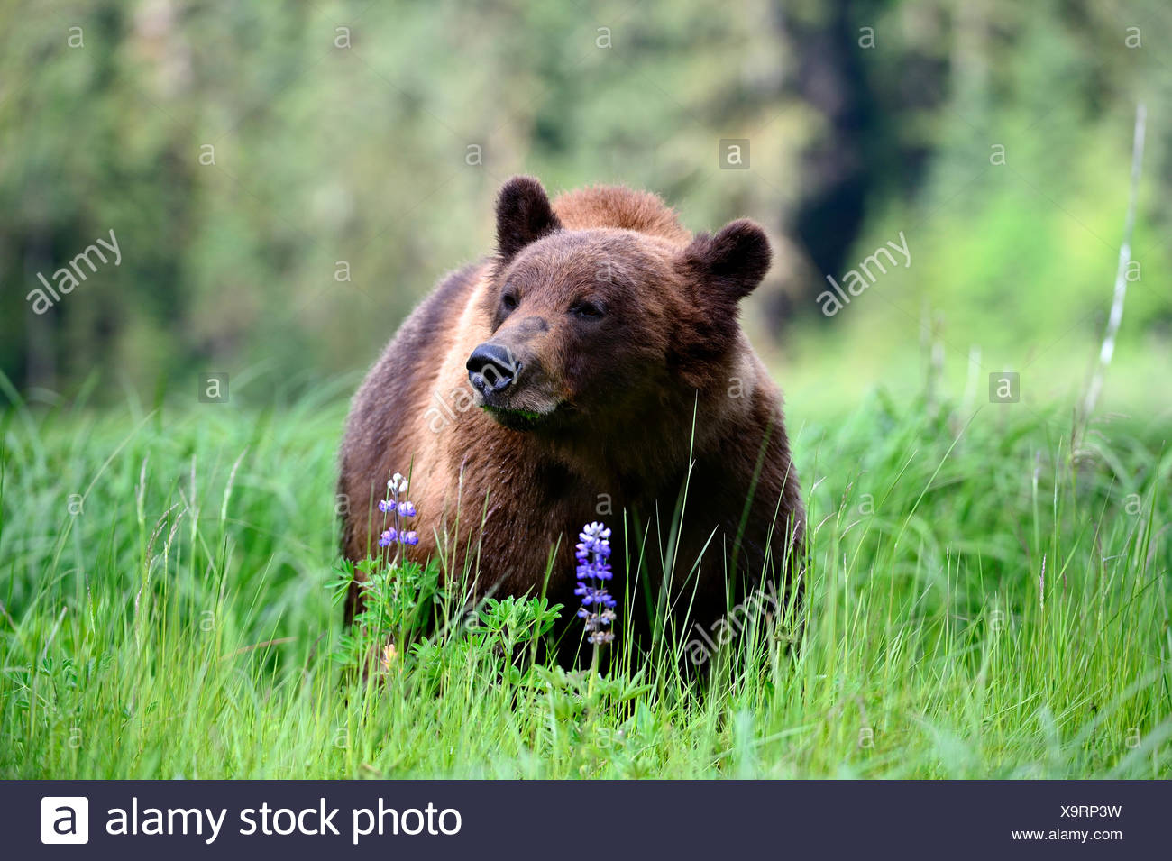 Male Grizzly bear (Ursus arctos horribilis) feeding on Nootka lupine. Khutzeymateen Grizzly Bear Sanctuary, British Columbia, Canada. - Stock Image