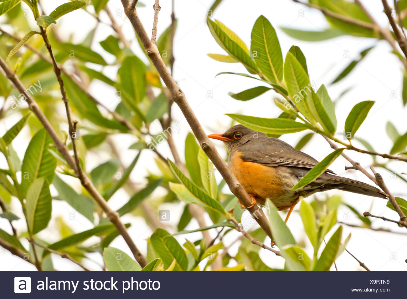 Small orange beak bird - Stock Image