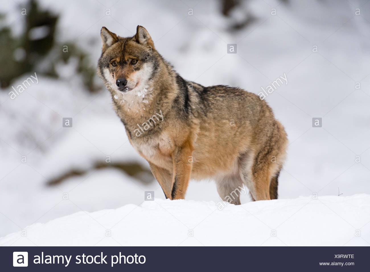 Gray wolf (Canis lupus), Bavarian Forest National Park, Bavaria, Germany Stock Photo