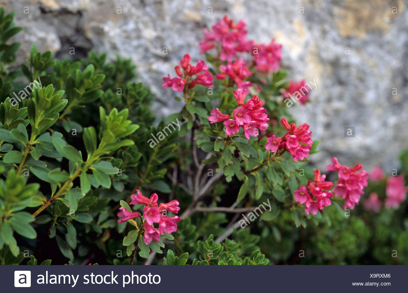 Alpine roses Rhododendron ferrugineum Stock Photo