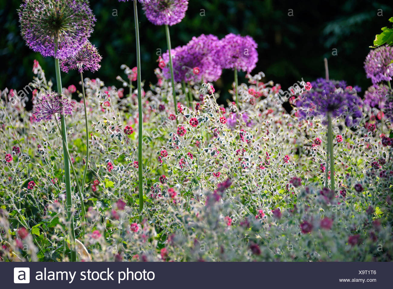 dusky cranesbill (Geranium phaeum), blooming in a flowerbed together with Allium aflatunense, Germany Stock Photo