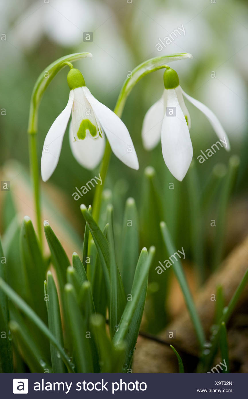 common snowdrop, galanthus nivalis - Stock Image