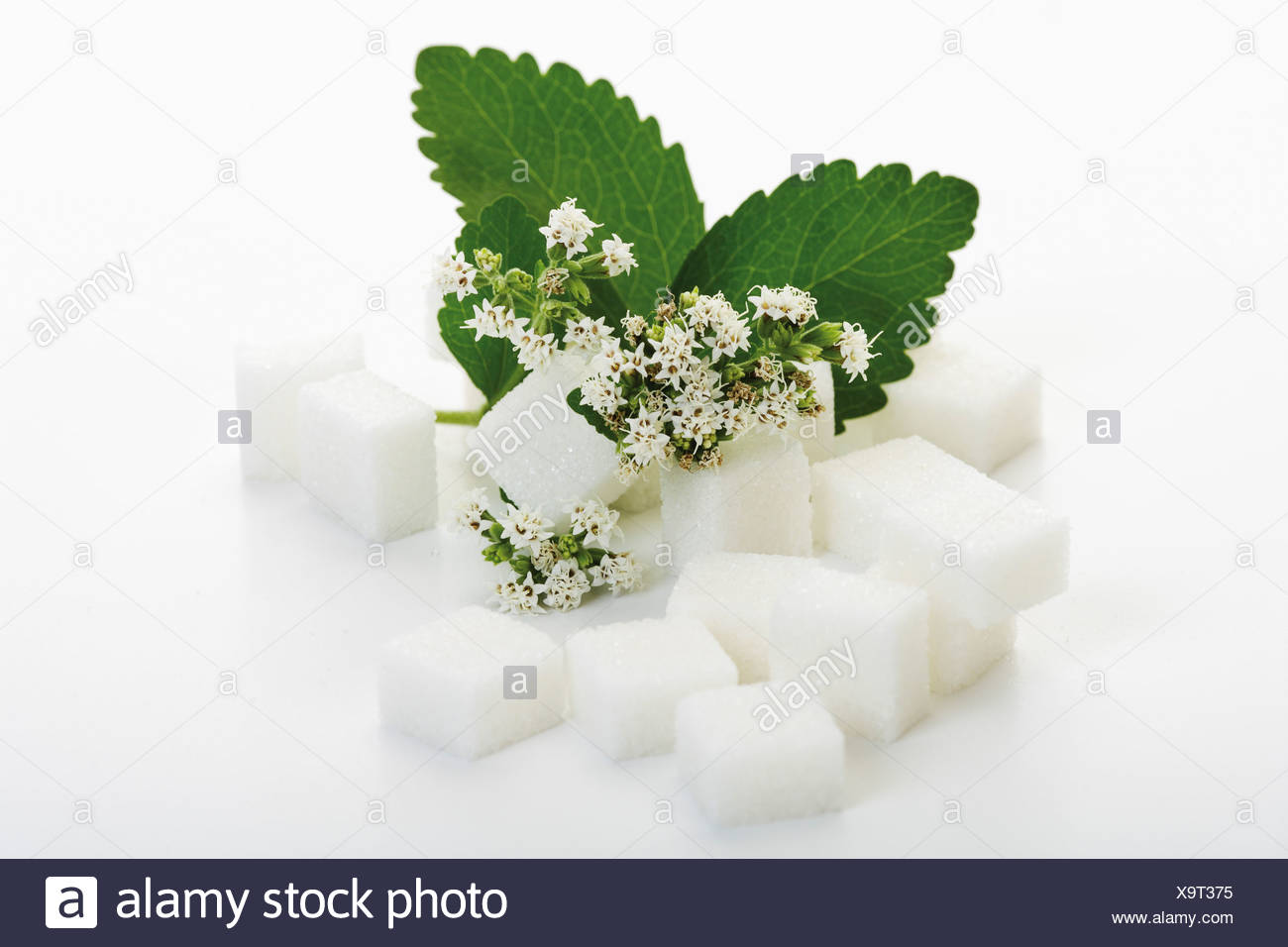 Sugar lumps and stevia leaves with blossom on white background - Stock Image
