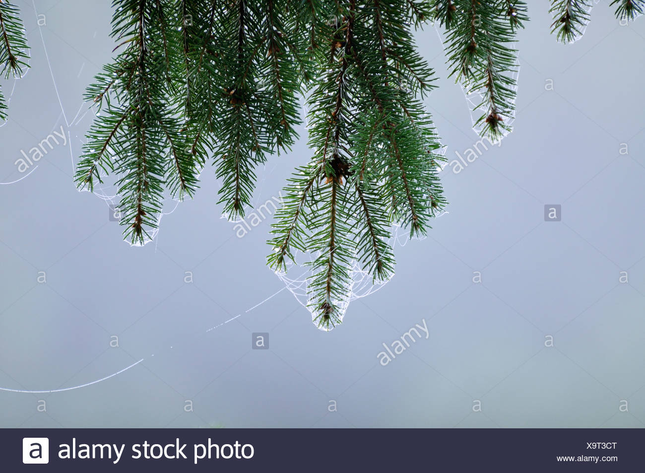 Fir tree and spider''s web, close-up, Sweden. - Stock Image