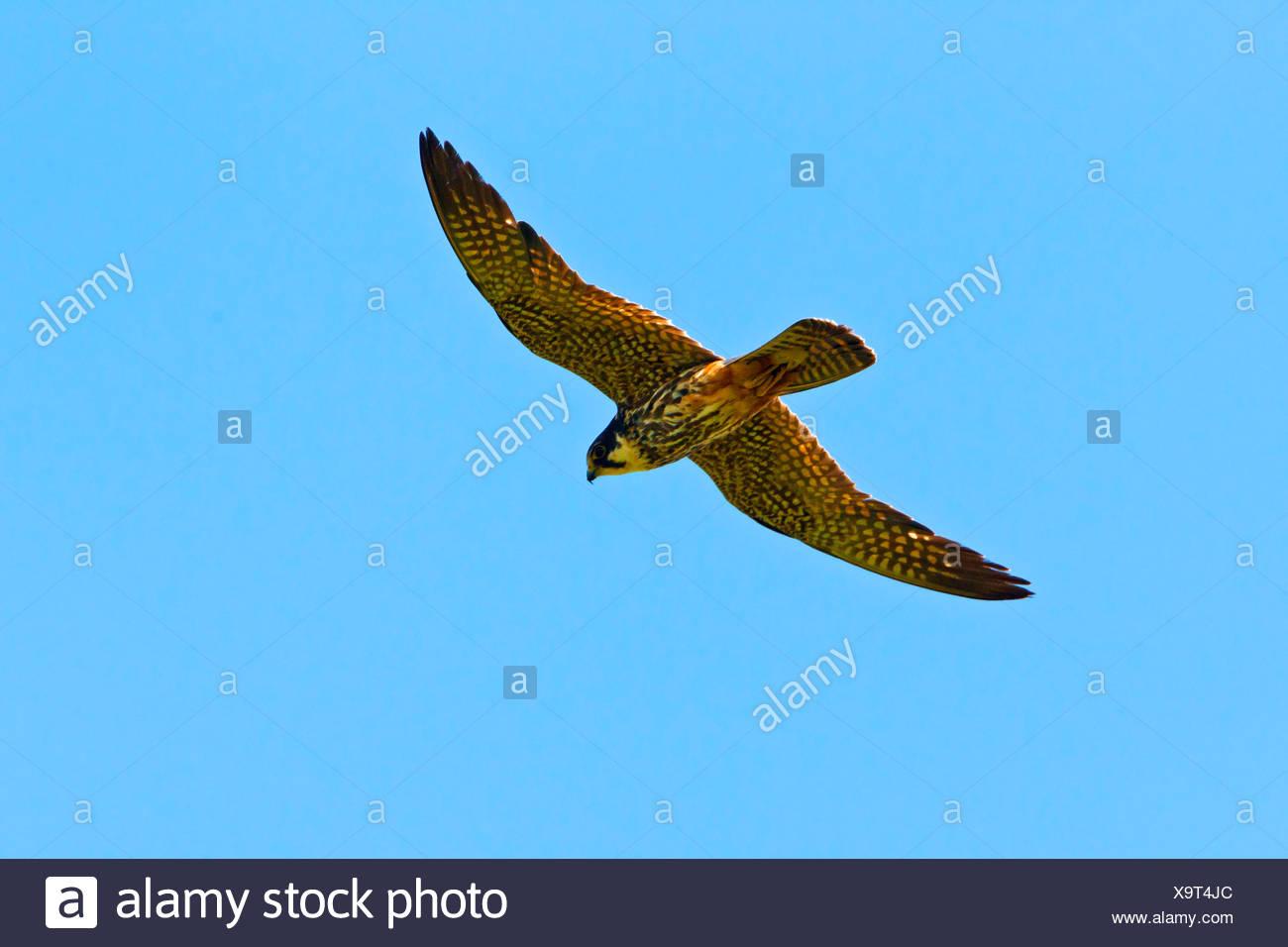 northern hobby (Falco subbuteo), flying, Germany, Rhineland-Palatinate - Stock Image