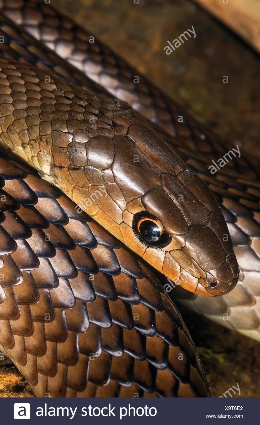Psammophis longifrons STOUT SAND SNAKE. DETAIL - HEAD & SCALES. VERY RARE. Harmless. Endemic to India.Maharashtra, INDIA - Stock Image