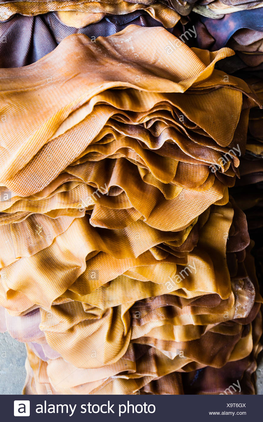 Artisanal transformation of latex from the Rubber tree (Hevea sp.) en sheets, India. - Stock Image