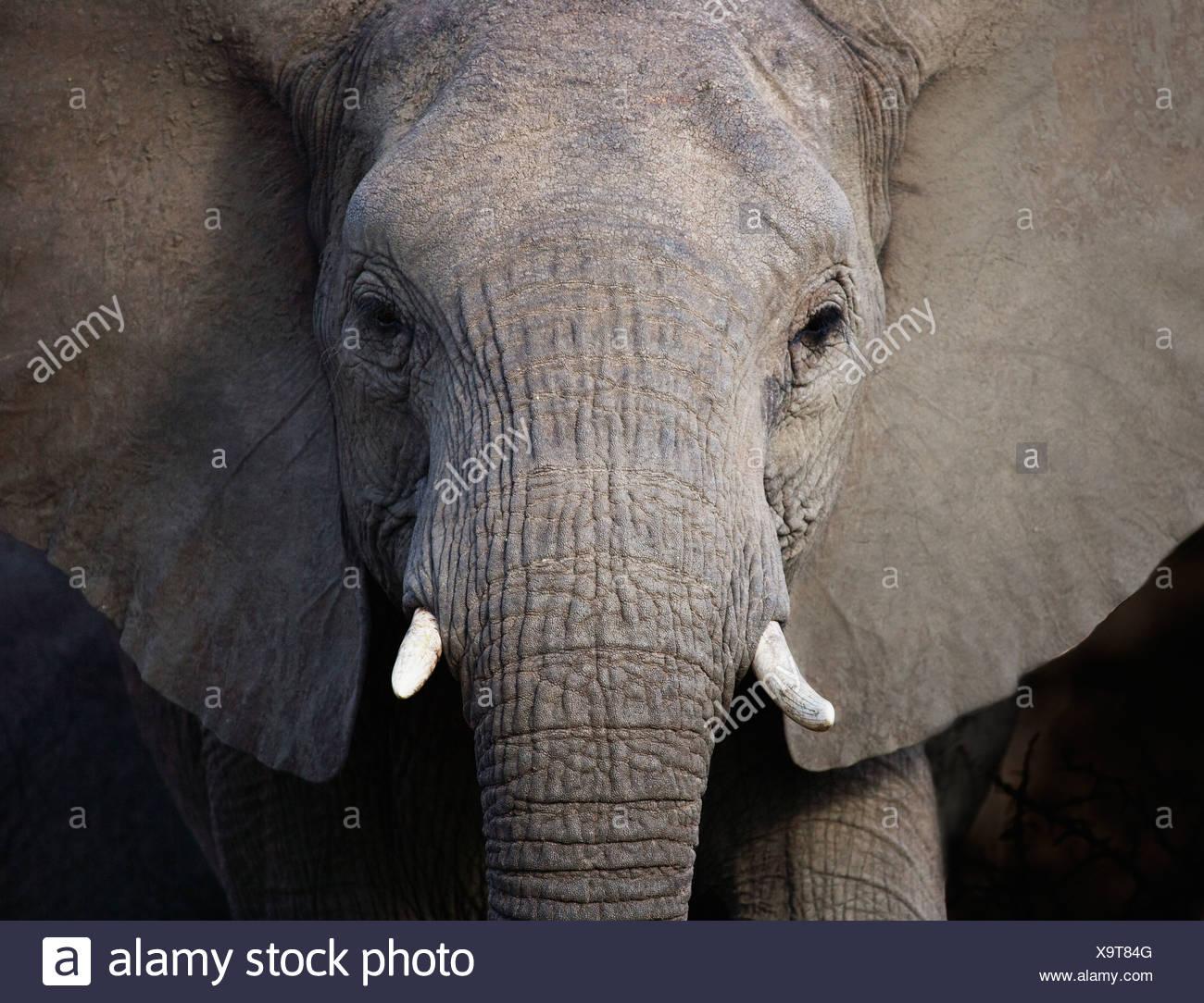 Close up of elephant - Stock Image