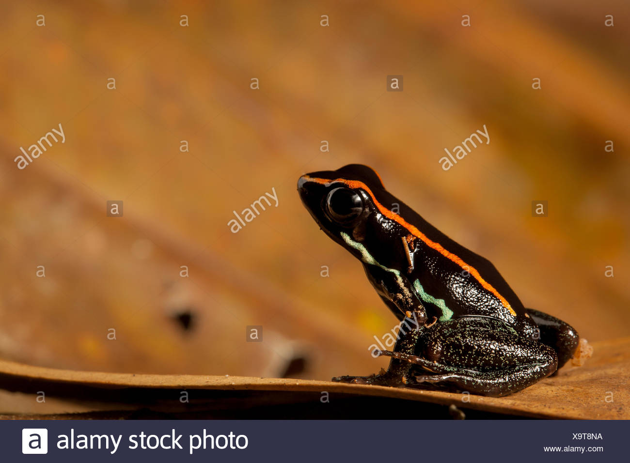 Portrait of a golfo dulce poison dart frog, Phyllobates vittatus. - Stock Image