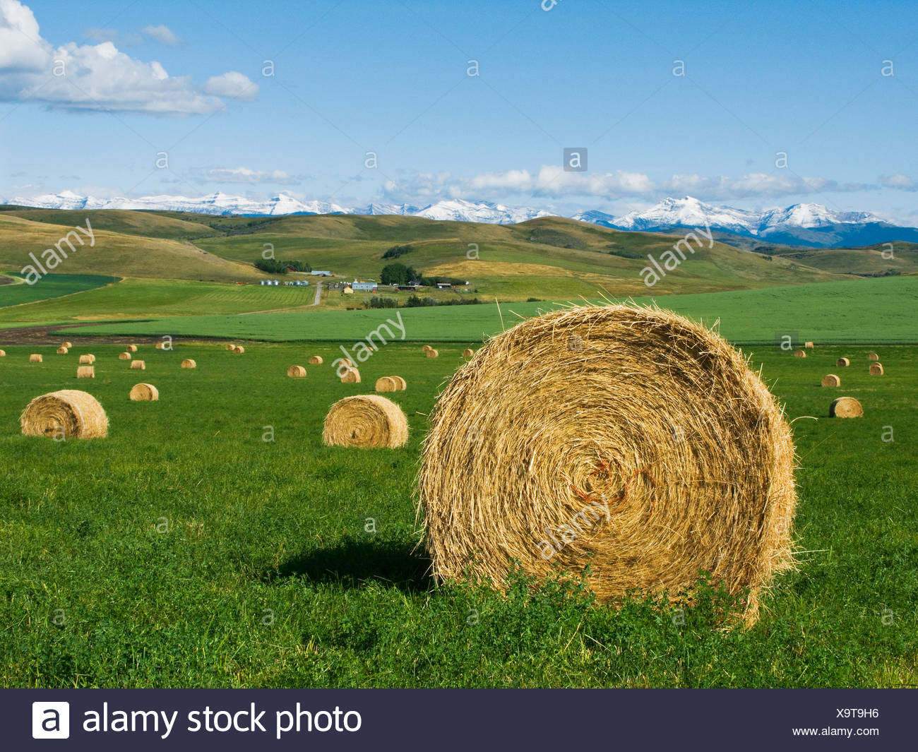 Agriculture - Round hay bales on an alfalfa field in the foothills of the Canadian Rockies in the distance / Alberta, Canada. Stock Photo