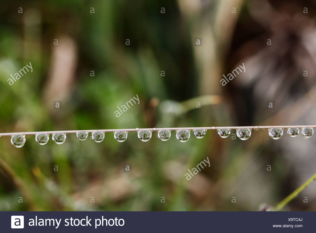 Water drops on a blade of grass, Ireland, Europe - Stock Image