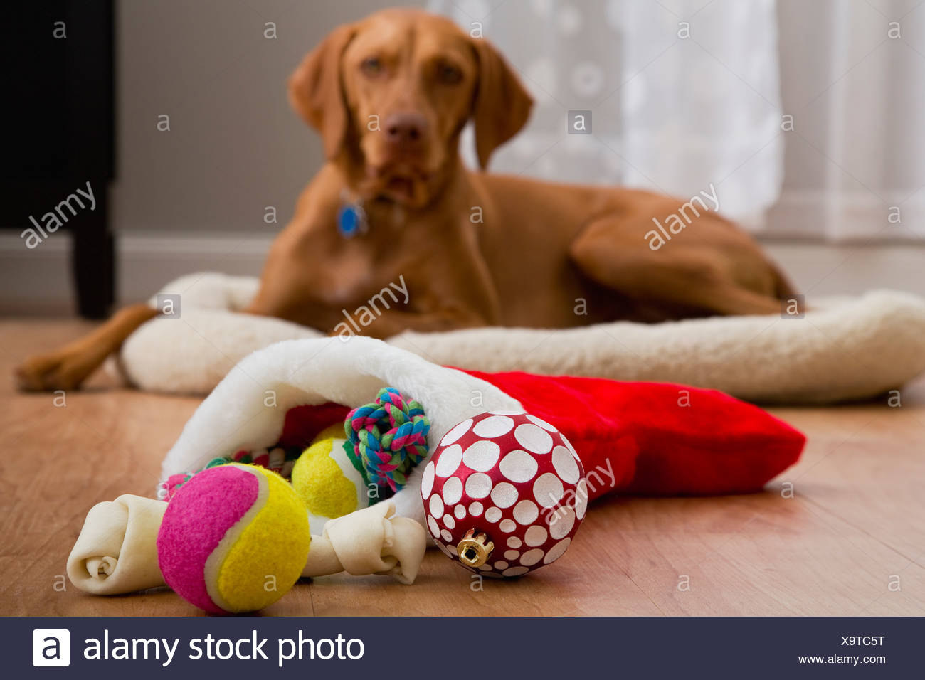 Portrait of dog with Christmas gifts - Stock Image
