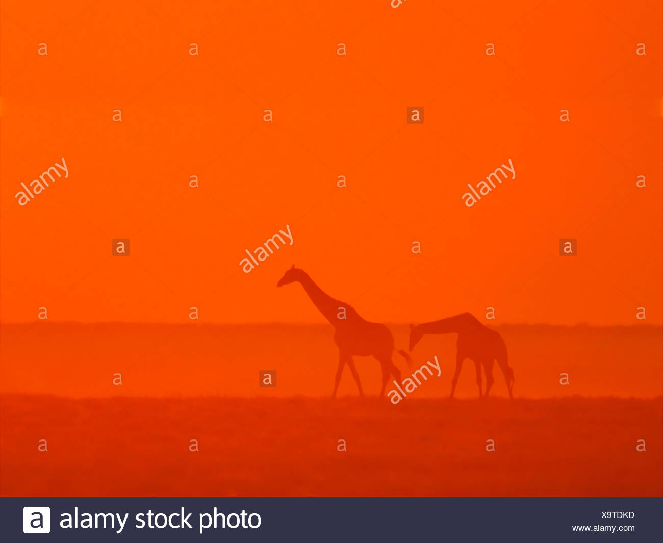 Giraffes walking at sunset - Stock Image