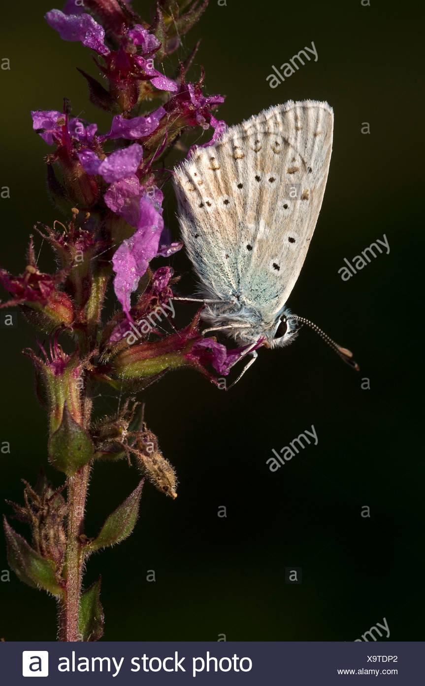 Chalkhill Blue (Lysandra coridon), Pillersattel, Tyrol, Austria, Europe - Stock Image