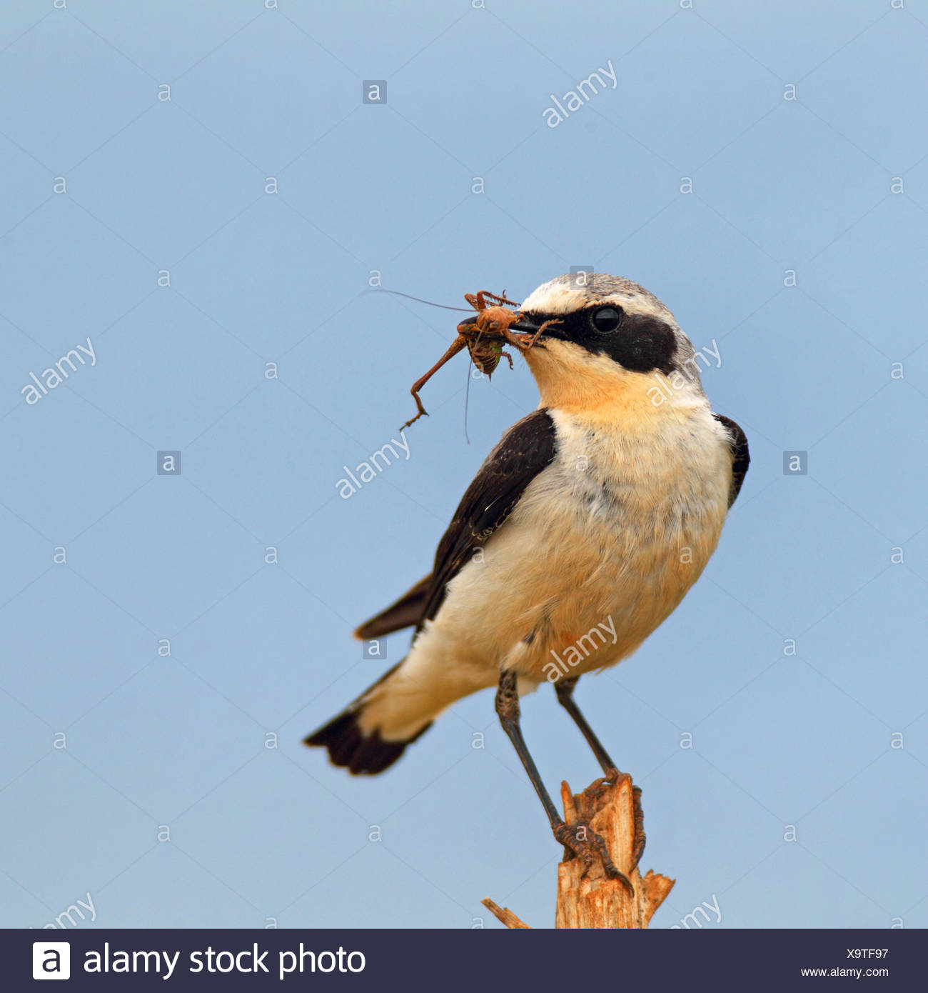 northern wheatear (Oenanthe oenanthe), male has a grasshopper in the bill and sitting on a thin pole, Bulgaria - Stock Image