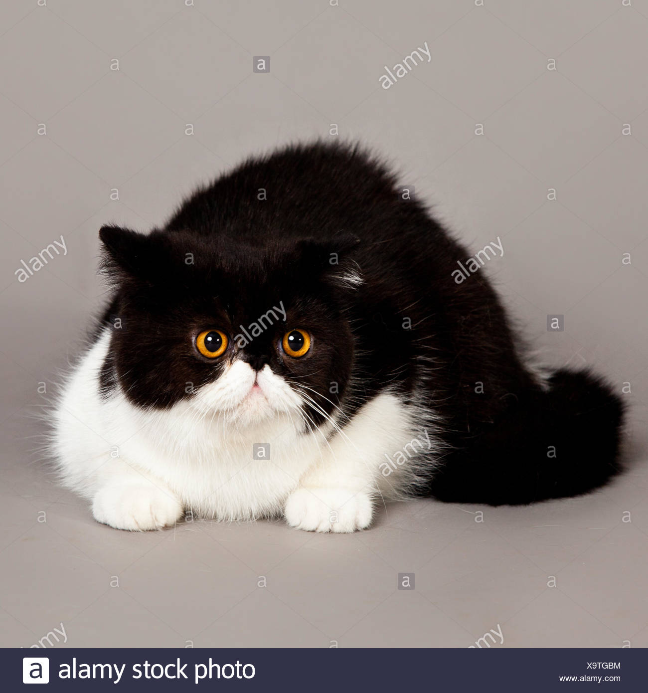 Exotic Shorthair Cat Stock Photos & Exotic Shorthair Cat Stock
