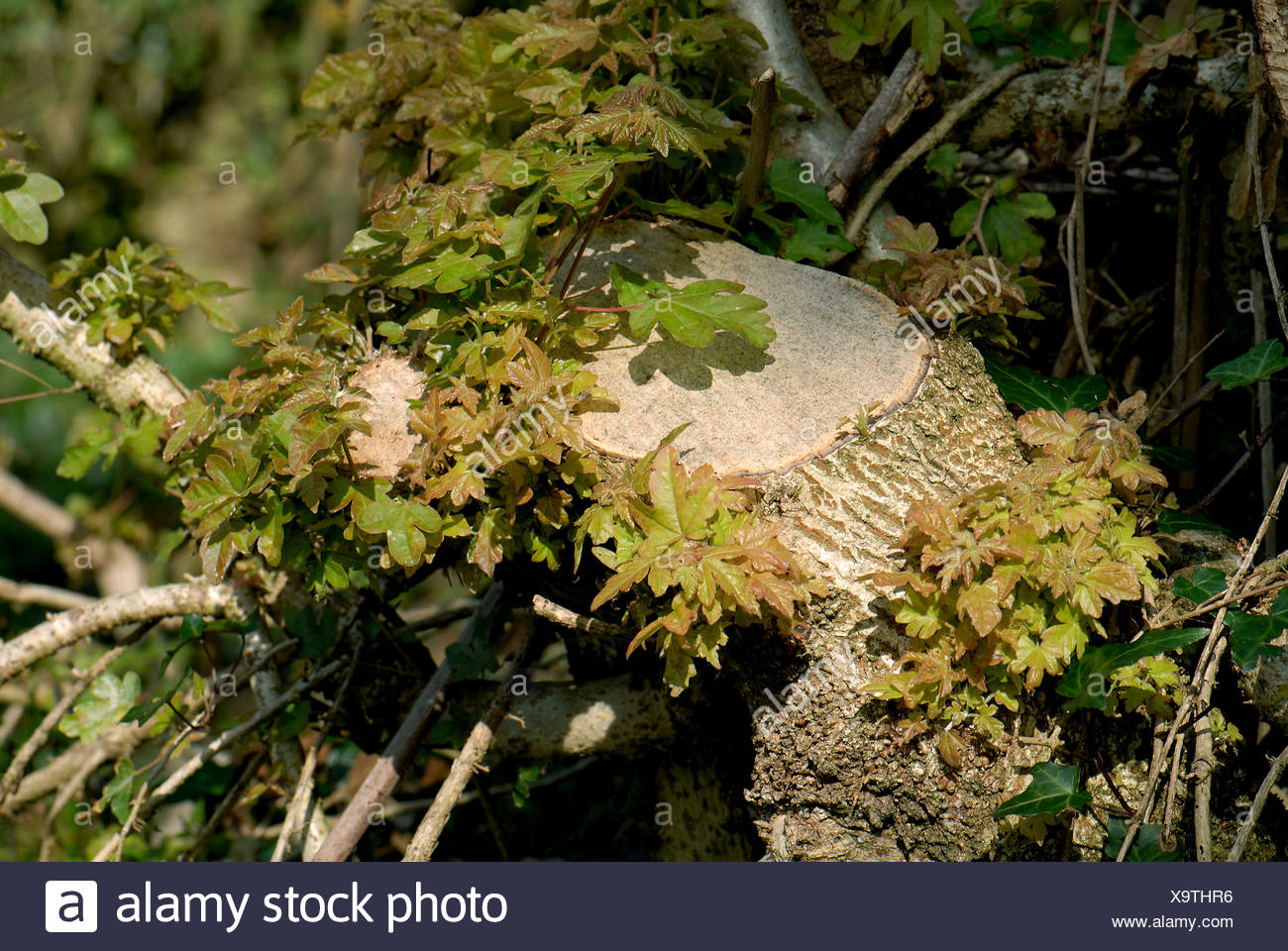 Foliage regrowing from the stump of a field maple Acer campestre hedge tree - Stock Image