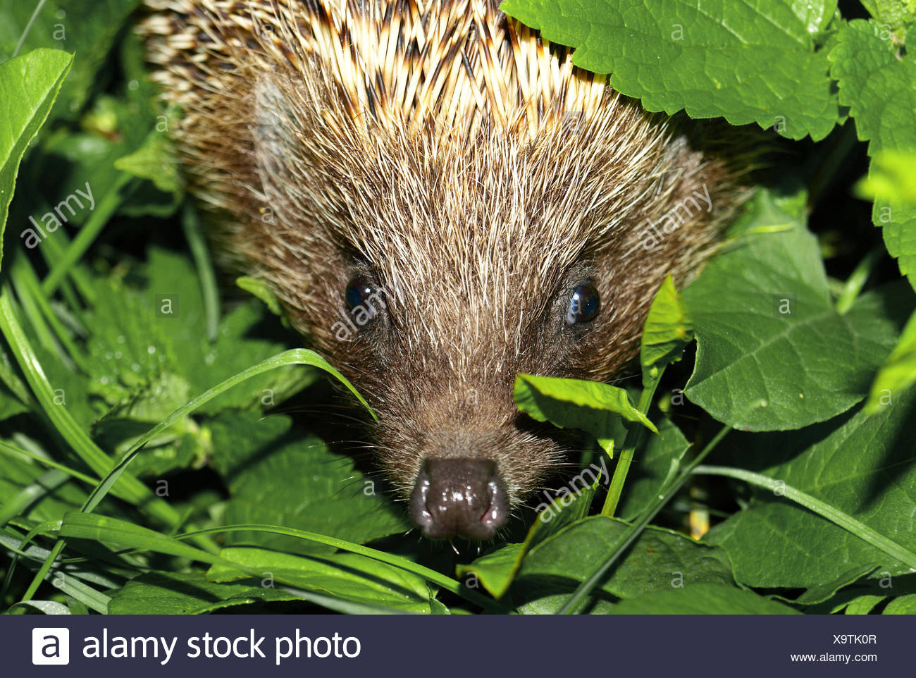 hedgehog muzzle - Stock Image