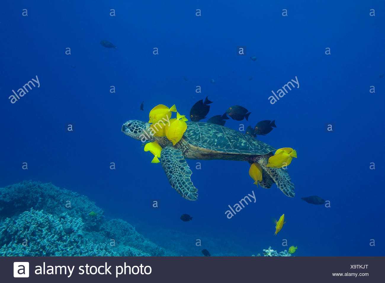Green sea turtle (Chelonia mydas) being cleaned by herbivorous cleaner fish species Yellow tangs (Zebrasoma flavescens) and Gold-ring surgeonfish (Ctenochaetus strigosus) that graze algae on turtle's shell, at cleaning station, Kona, Hawaii. - Stock Image